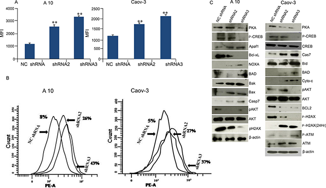 AKAP4 ablation leads to increased ROS generation DNA damage and cell death.