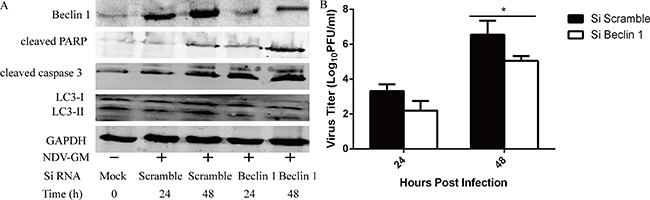Inhibition of autophagy by Beclin1 knockdown enhances apoptosis but reduces NDV replication in CEF cells.