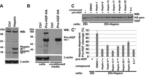 Hepsin inhibitors attenuate the Hepsin-mediated cleavage of pro-HGF in cell based activity assays.
