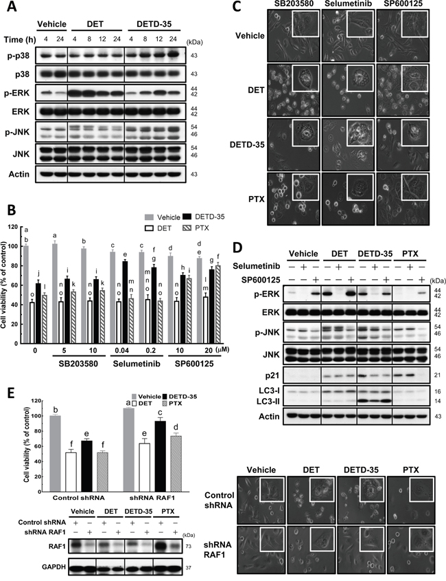 Effects of MAPK inhibitors on DET, DETD-35, and PTX-induced cytoplasmic vacuole formation in TNBC cells.