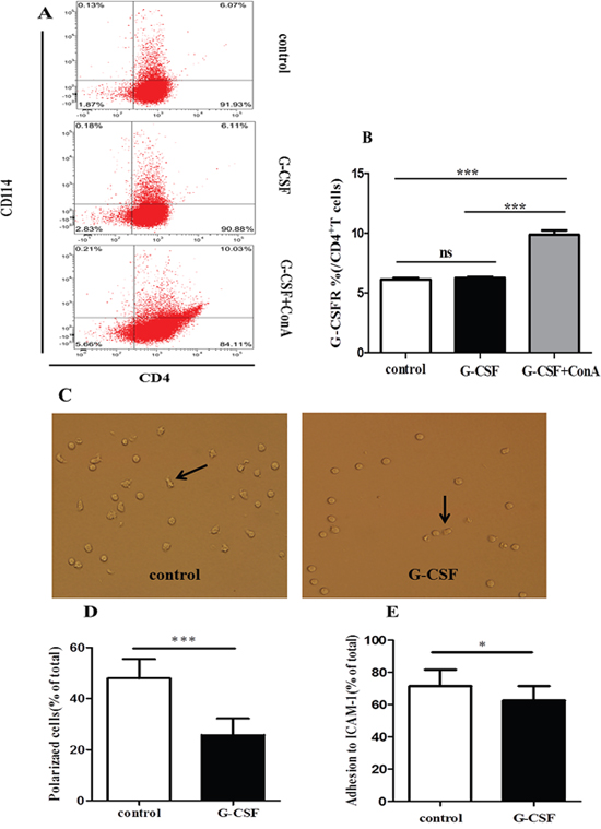 G-CSF attenuated the polarization and adhesion of CD4+ T cells in vitro.