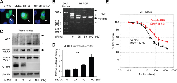 GT198 activation stimulates VEGF and increases U-251 cell survival.