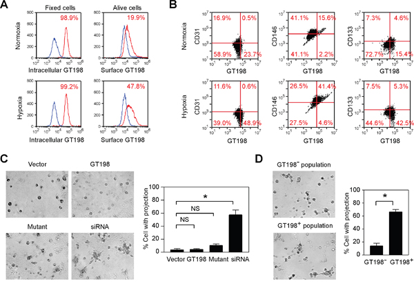 Hypoxia induces cell surface expression of GT198 and GT198 activation promotes tube formation in U-251 cells.