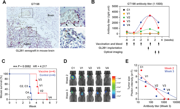 GT198 vaccination suppresses mouse GL261 glioma growth.