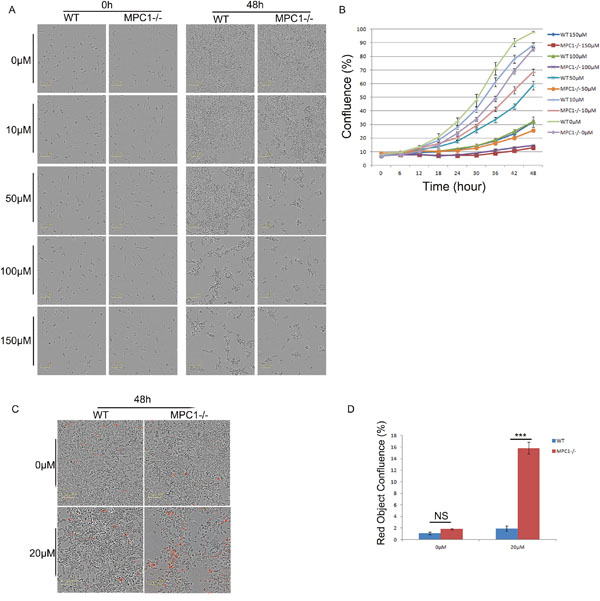 The MPC1-/- cells were more sensitive to alanine aminotransamination inhibitor β-Ch treatment.