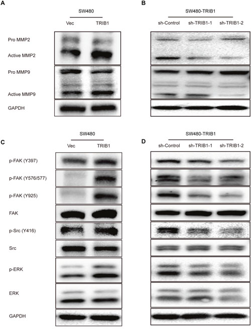 TRIB1 promotes MMP-2 and MMP-9 expression and activates FAK and ERK signaling.