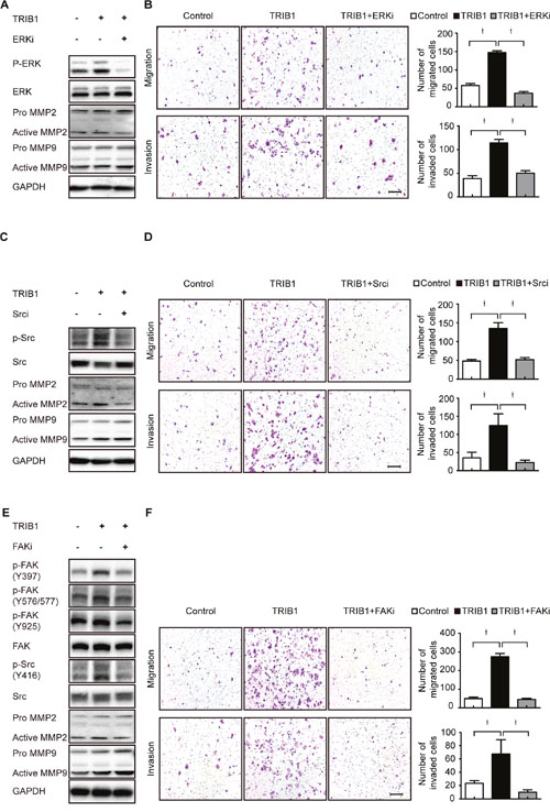 TRIB1 up-regulates MMP-2 expression through FAK/Src and ERK pathways.