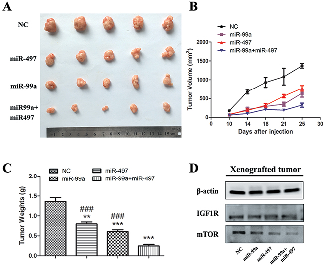 MiR-99a and miR-497 repressed the growth of HepG2-engrafted tumors and decreased the expression of IGF1R and mTOR in vivo.