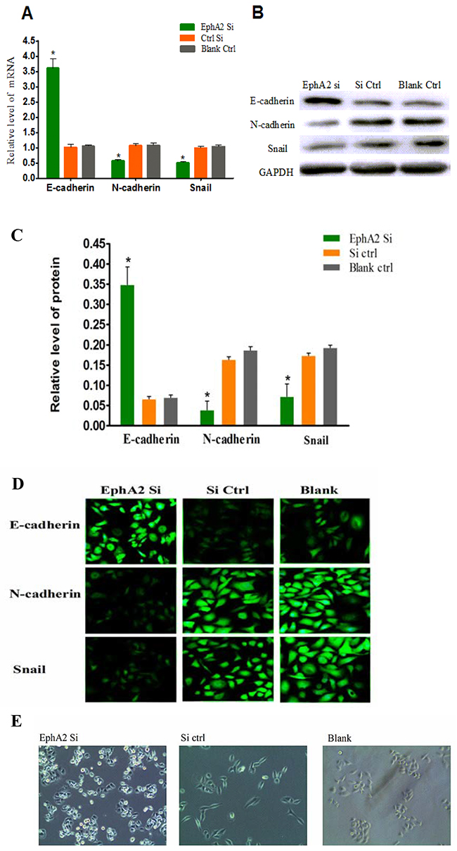 Oncotarget | EphA2 affects the sensitivity of oxaliplatin by