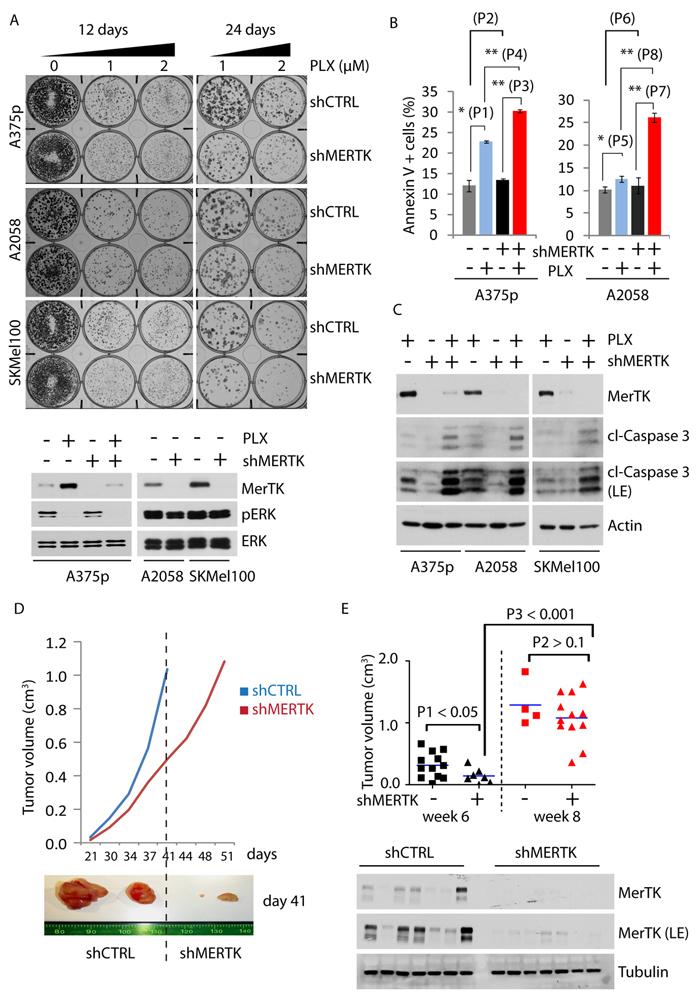 MerTK promotes melanoma cell survival and tumor formation.