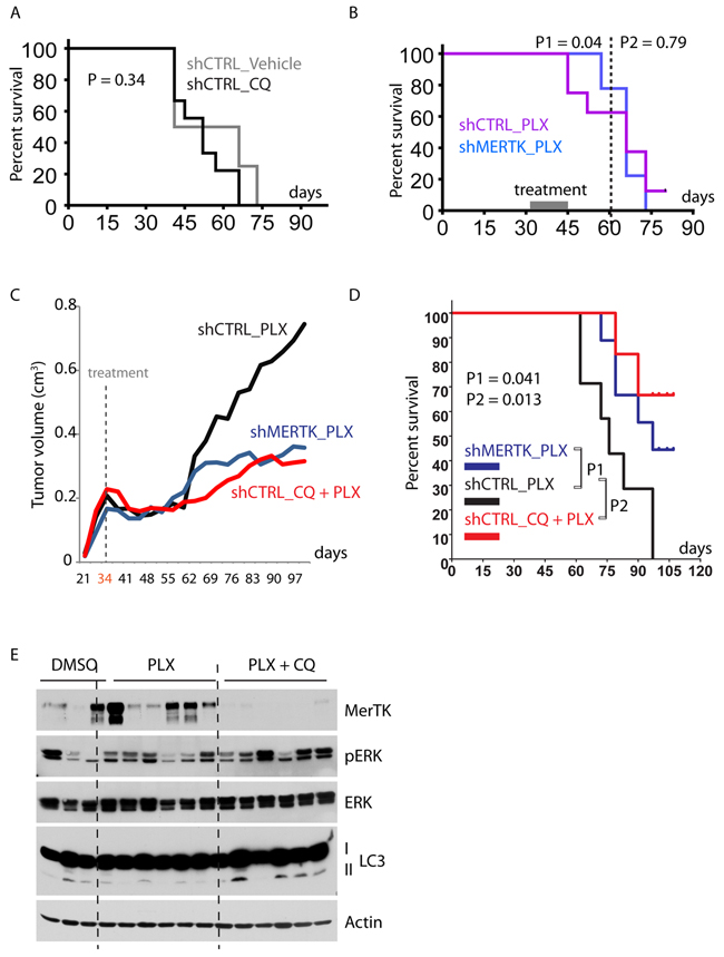 Combined inhibition of mutant BRAF and autophagy/MerTK overcomes resistance to vemurafenib therapy.