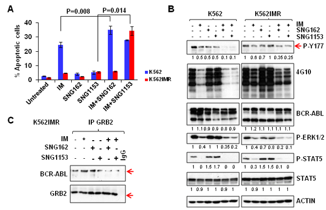 A combination of SNG inhibitors and TKI is more effective in inducing apoptosis and suppressing the phosphorylation of tyrosine 177 of BCR-ABL in K562 and K562IMR cells.