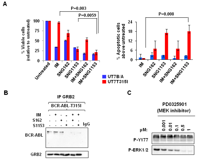 Combination treatment with SNG inhibitors and IM disrupts the BCR-ABL-Tyr177-GRB2 interaction in BCR-ABL-T315I mutant cells.