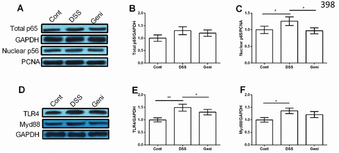 Genistein inhibited DSS-induced activation of TLR4/NF-κB signal in Caco-2 cells.