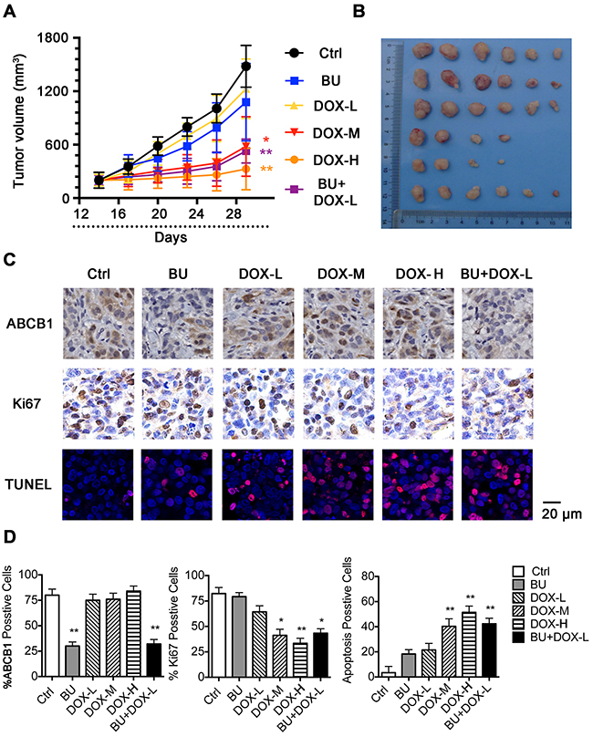 Potentiation of the antitumor effects of DOX by BU in a nude mice xenograft model.