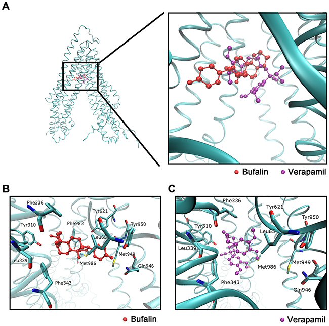 Molecular modeling of binding of BU or Verapamil to homology ABCB1.