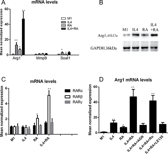 RARβ is required for the RA effect on Arg1 expression.