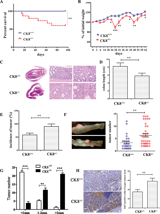 Knockdown of CK8 promotes susceptibility to AOM/DSS-induced colitis-associated colorectal carcinoma.