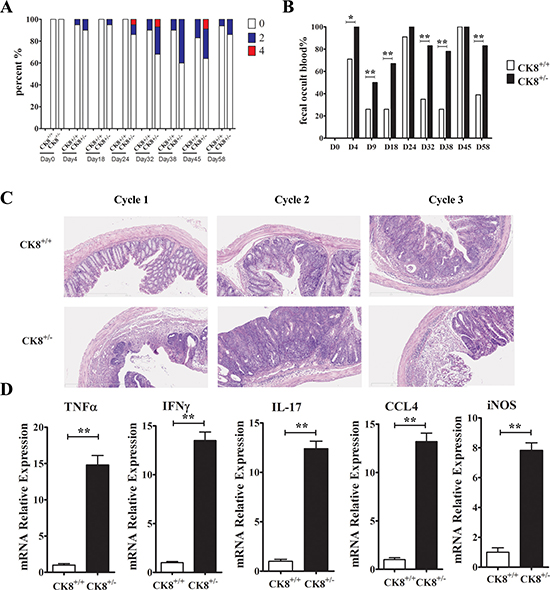 Increased inflammatory response in AOM/DSS-treated CK8+/− mice compared to CK8+/+ mice.