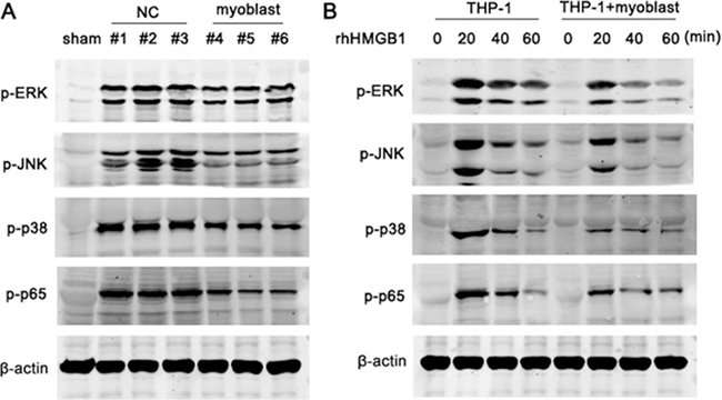Myoblast inhibits the activation of MAPK and NF-kB pathway.