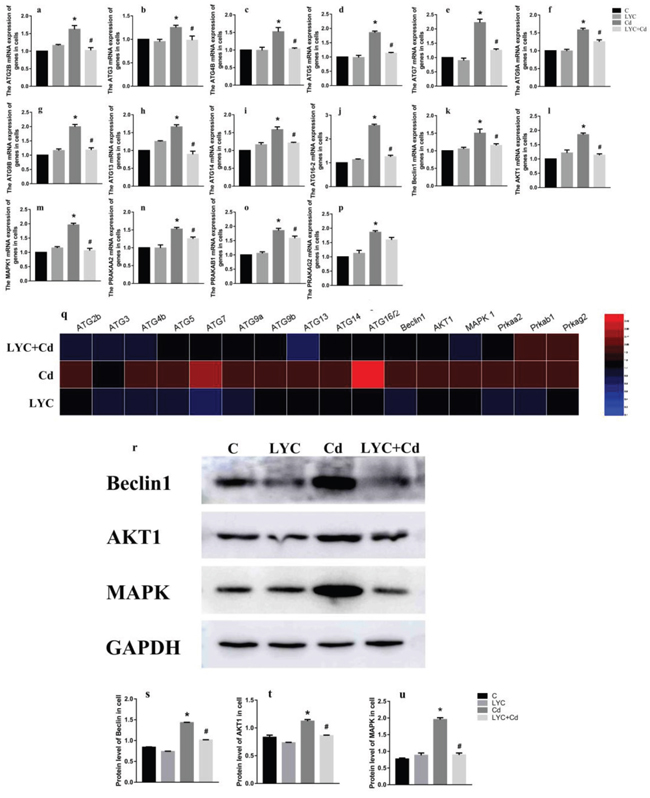 LYC abrogates cadmium exposure-induced autophagy activation in TH22.