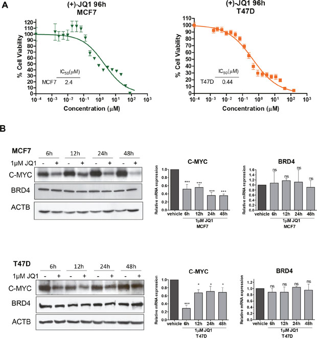 JQ1 treatment of human luminal breast cancer cell lines reduces cell viability and downregulates C-MYC.
