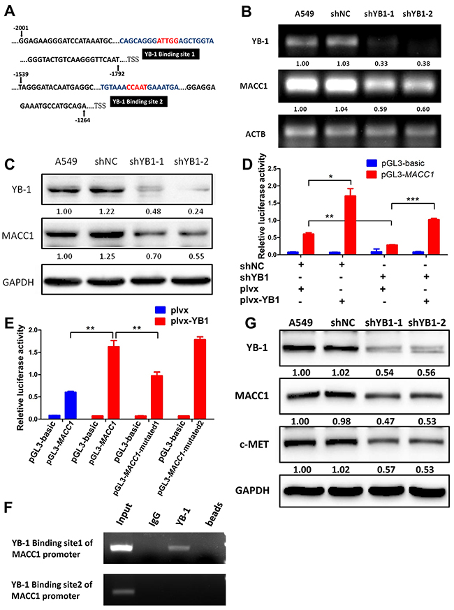 YB-1 promotes MACC1 transcription by binding to MACC1 promoter and activates MACC1/c-Met pathway.