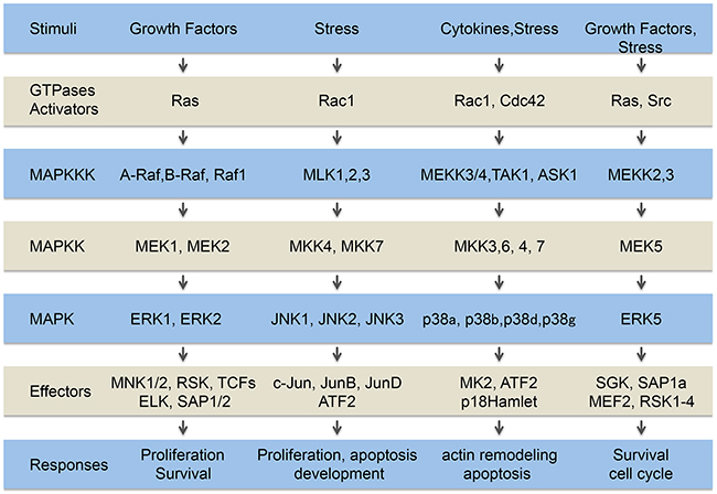 Oncotarget | The p38 pathway, a major pleiotropic cascade ... on cyclic adenosine monophosphate, mapk/erk pathway, apoptosis cascade, c-jun n-terminal kinases, jak-stat signaling pathway, protein kinase, adenylate cyclase, pi3k/akt/mtor pathway, protein kinase c, wnt signaling pathway, signal transduction, protein kinase cascade, tyrosine kinase, cyclin-dependent kinase, notch signaling pathway, amyloid cascade, signal transduction pathway cascade, receptor tyrosine kinase, tgf beta signaling pathway, caspase cascade,