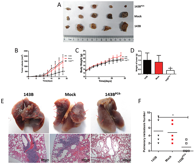 Tumorigenicity of osteosarcoma cells with stable knockdown of PC4.