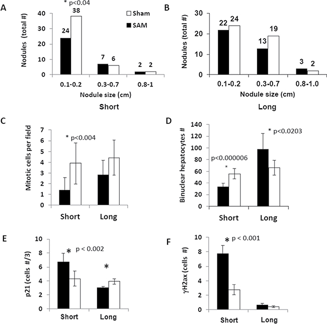 Effects of the short-term and long-term SAM supplementations on tumor load and hepatocyte proliferation in the Mdr2-KO liver.