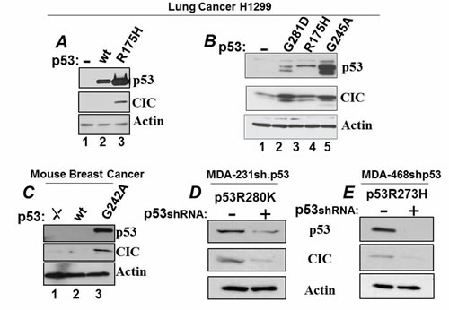 Expression of mutant p53 regulate CIC levels.