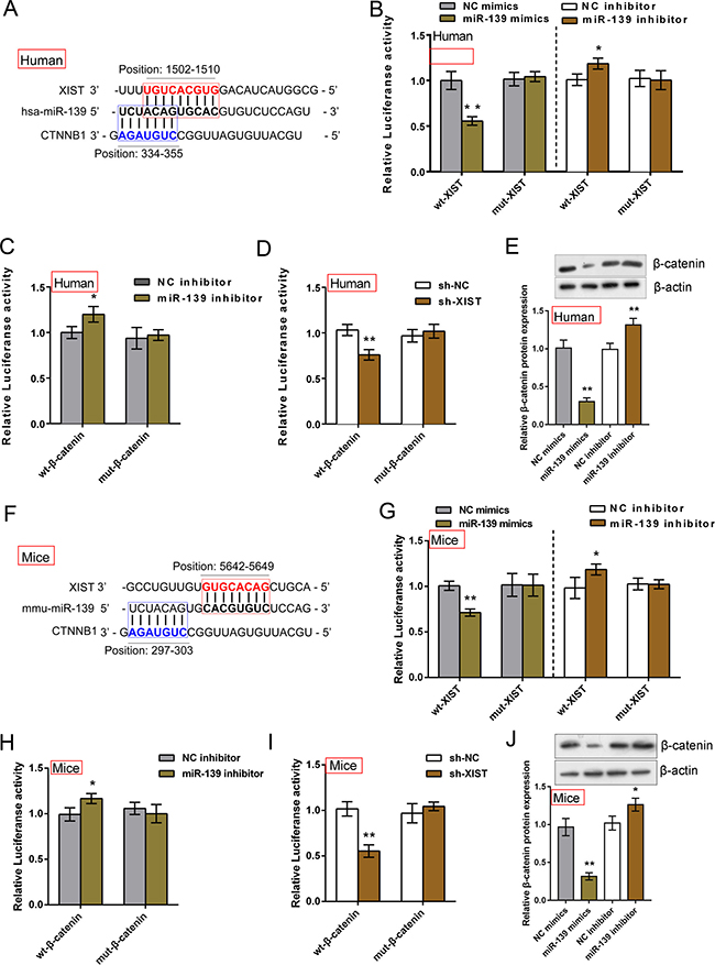 XIST competed with β-catenin for miR-139 binding in IMR-90 and MLFCs.
