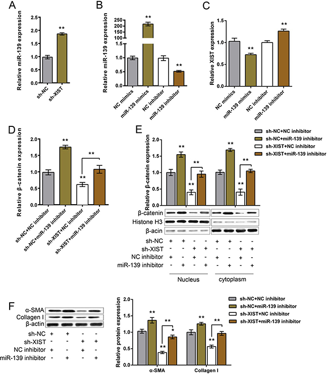 The functional role of miR-139 in XIST regulating β-catenin and ECM proteins.
