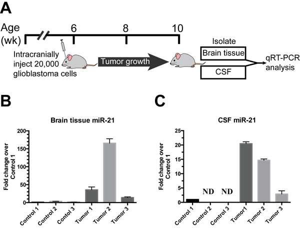 Direct release of miR-21 from glioblastoma xenograft