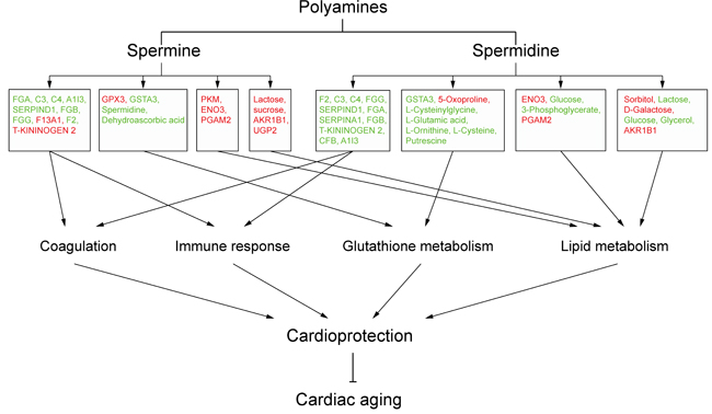 Schematic overview of polyamine-related cardioprotective pathways in aged rat hearts.