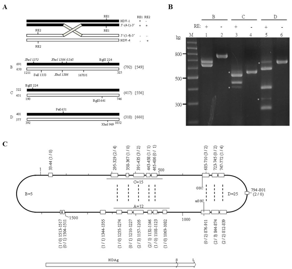 Detection of HDV-1/HDV-4 recombination by RT-PCR-RFLP.