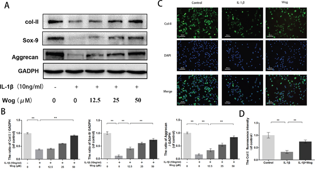 Wogonoside promote extracellular matrix synthesis from IL-1β induced mice chondrocyte.