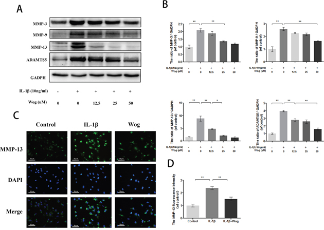 Wogonoside inhibit extracellular matrix degradation from IL-1β induced mice chondrocyte.