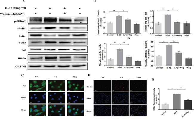 Effect of wogonoside on IL-1β-induced NF-κB/HIF-2α activation.
