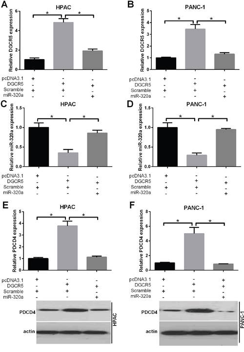 DGCR5 reverses the inhibition of PDCD4 by miR-320a.
