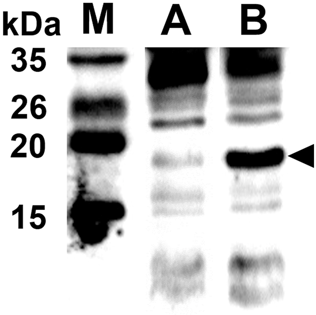 Endolysin and protein E expressed in JOL1675 confirmed by rabbit anti-endolysin polyclonal antibodies.