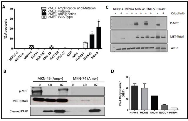 MET amplified gastric cells undergo apoptosis when exposed to crizotinib.