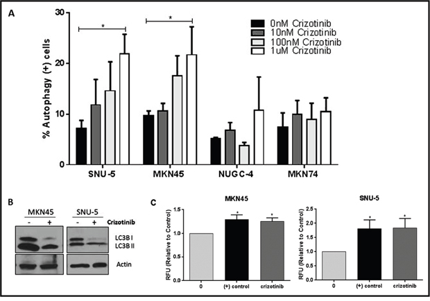 MET inhibition induces autophagy in the crizotinib-sensitive cells.