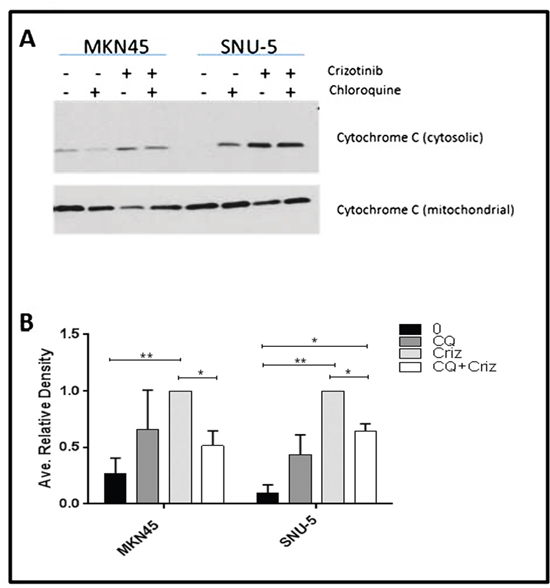 Autophagy is required for crizotinib-induced cytochrome c release.