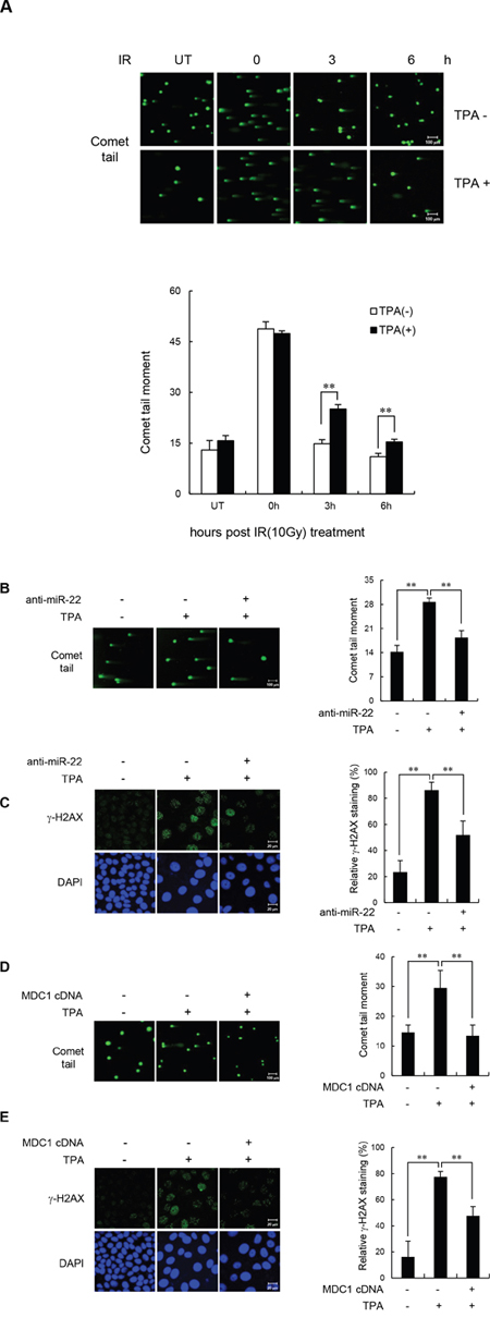 miR-22-mediated downregulation of MDC1 suppresses DSB repair in differentiated MCF-7 cells.