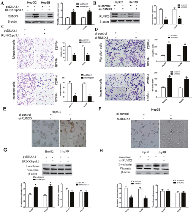 RUNX3 negatively regulates hepatocellular carcinoma cell motility and activates E-cadherin expression.