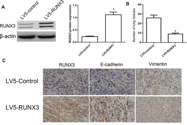 RUNX3 suppressed HCC metastasis in vivo.