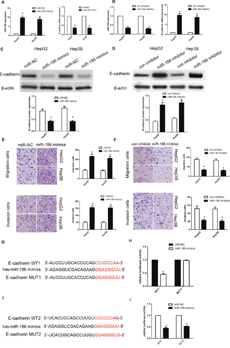 MiR-186 downregulated E-cadherin expression by directly targeting its 3'-UTR.