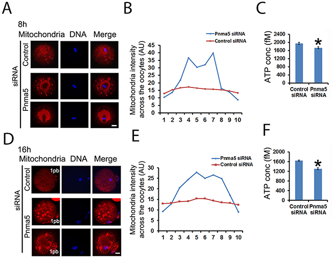 Pnma5 is required for mitochondria dynamics and function.