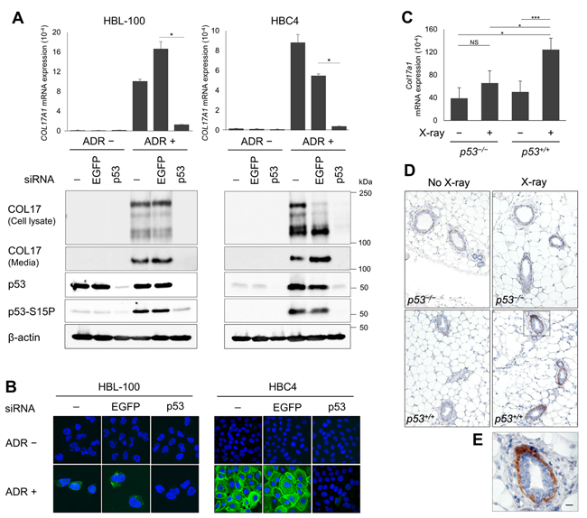 The p53-dependent induction of COL17A1 in human cells and mouse tissues.